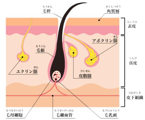皮膚や汗腺の構造
